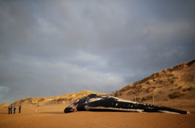 Une autre baleine s'est échouée sur la plage