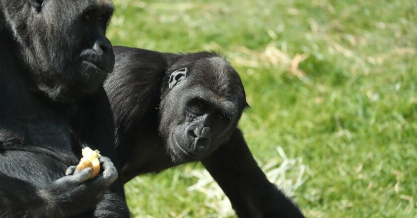 Coronavirus : deux gorilles testés positifs à la Covid-19 dans un zoo