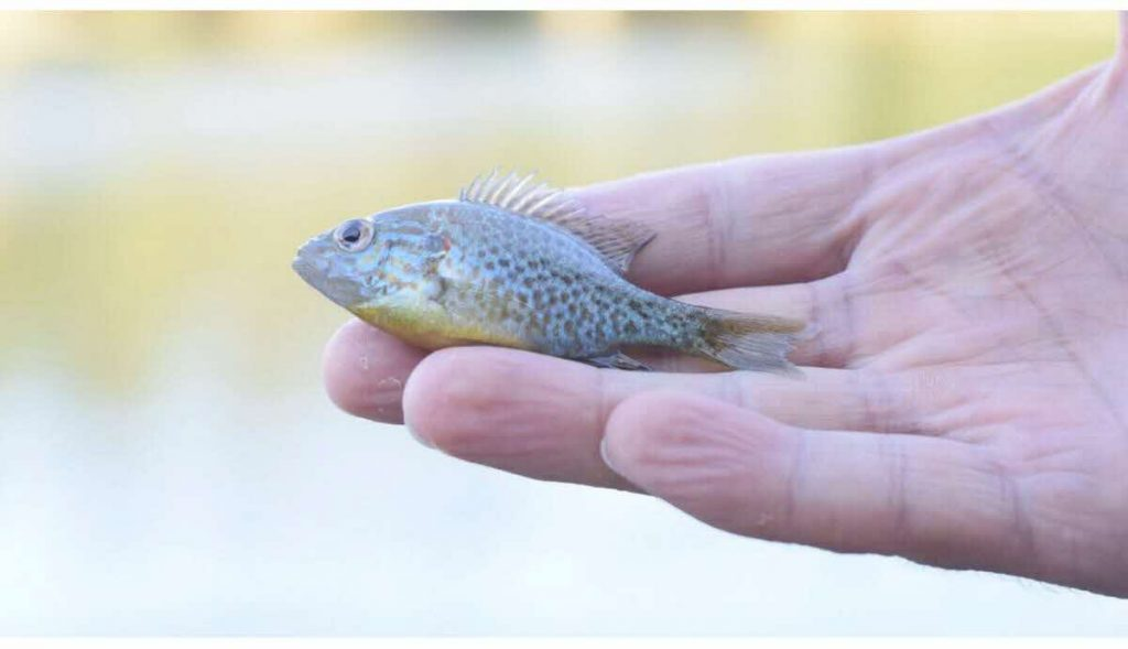 un petit poisson vivant retiré des narines d'un garçon de 13 ans