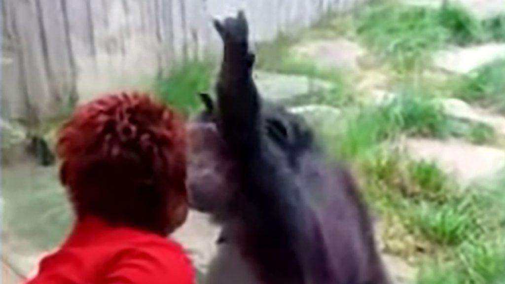 Une femme chassée d'un zoo du fait de sa relation jugée 'intime' avec un chimpanzé