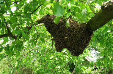Il met du miel sur son pénis pour une partie de jambes en l'air et se fait attaquer par les abeilles